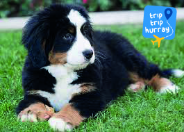 Bernese mountain dog best breeds for children
