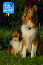 Collie best dog breeds for families