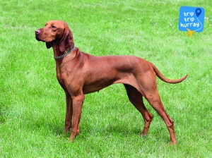Hungarian Vizsla best dog breeds for families