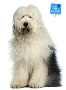 Old English Sheepdog best dog breeds for families