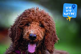 Poodle best dog breeds for families