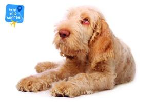 Spinone Italiano best dog breeds for children